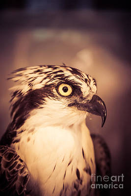 Photograph - Close Up Of A Hawk Bird by Edward Fielding