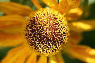 Flower Photograph - Close Up Of A Helianthus Flower by John Keates