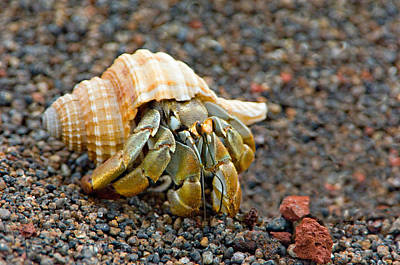 Galapagos Photograph - Close-up Of A Hermit Crab Coenobita by Panoramic Images