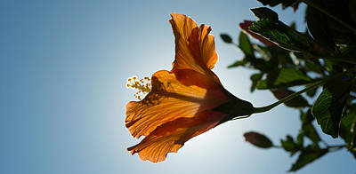 Stamen Photograph - Close-up Of A Hibiscus Flower In Bloom by Panoramic Images