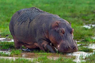 Hippopotamus Photograph - Close-up Of A Hippopotamus, Lake by Panoramic Images