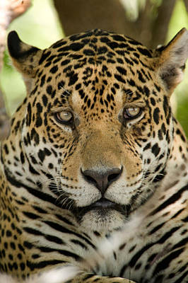 Of Felines Photograph - Close-up Of A Jaguar Panthera Onca by Panoramic Images