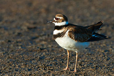 Photograph - Close-up Of A Killdeer by Celso Diniz