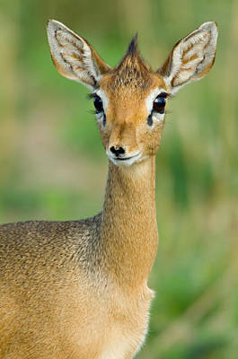 Close-up Of A Kirks Dik-dik, Tarangire Art Print