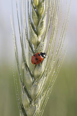 Close Up Of A Ladybug Coccinellidae On Print by Michael Interisano