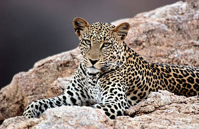 Animal Behavior Photograph - Close-up Of A Leopard Lying On A Rock by Panoramic Images
