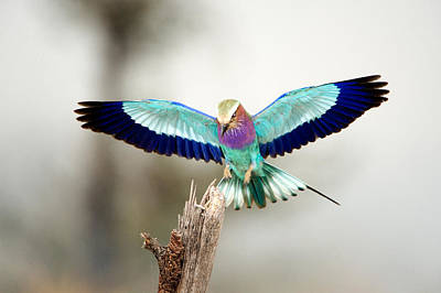 Lilac Roller Photograph - Close-up Of A Lilac-breasted Roller by Panoramic Images