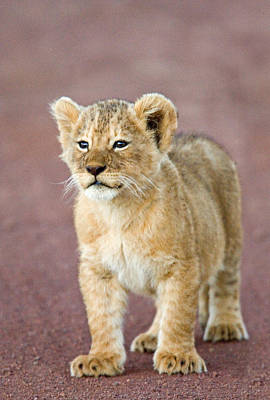 Close-up Of A Lion Cub Standing Art Print