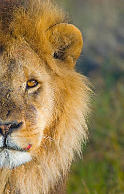 Focus On Foreground Photograph - Close-up Of A Lion, Ngorongoro by Panoramic Images