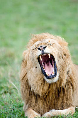 Close-up Of A Lion Panthera Leo Art Print