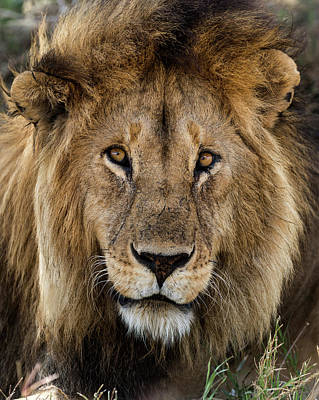 Close-up Of A Lion, Serengeti Art Print by Life On White