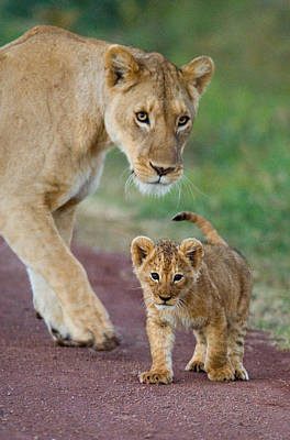 Lion Photograph - Close-up Of A Lioness And Her Cub by Panoramic Images