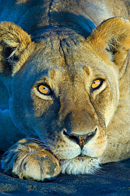 Close-up Of A Lioness, Ngorongoro Art Print by Panoramic Images