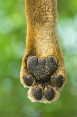 Close-up Of A Lions Paw, Lake Manyara Art Print