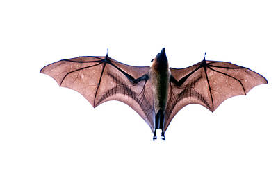 In Flight Photograph - Close-up Of A Madagascan Flying Fox by Panoramic Images