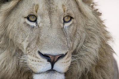 Close-up Of A Male Lion Panthera Leo Art Print