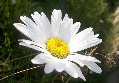 Photograph - Close Up Of A Margarite Daisy Flower by Tracey Harrington-Simpson
