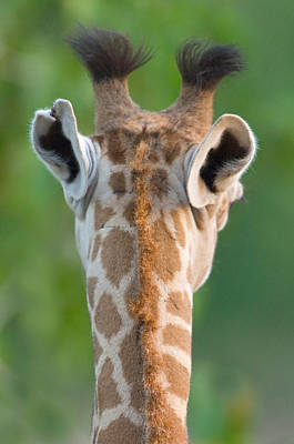 Behind The Scene Photograph - Close-up Of A Masai Giraffe, Lake by Panoramic Images