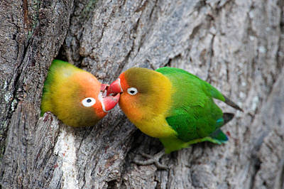 Close-up Of A Pair Of Lovebirds, Ndutu Art Print