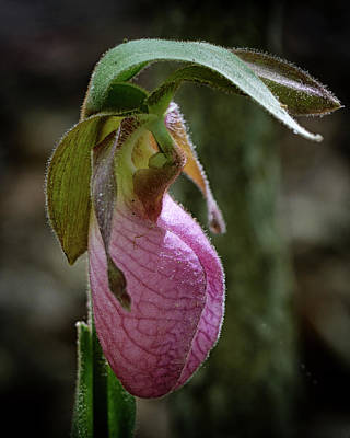 Close Up Of A Pink Ladys Slipper Orchid Art Print