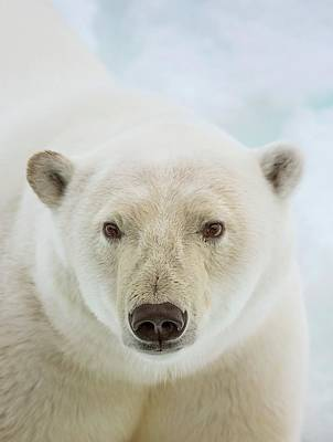 Close Up Of A Polar Bears Head Art Print by Peter J. Raymond