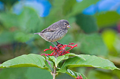 Bird On The Ground Photograph - Close-up Of A Small Ground-finch by Panoramic Images