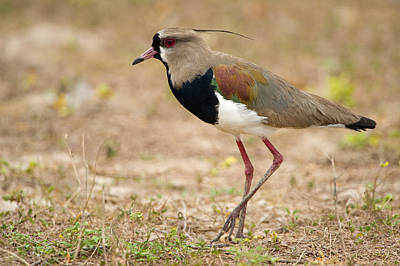Lapwing Photograph - Close-up Of A Southern Lapwing Vanellus by Panoramic Images