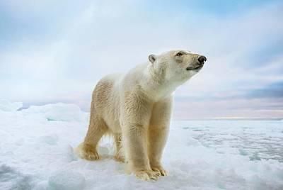 Close Up Of A Standing Polar Bear Art Print