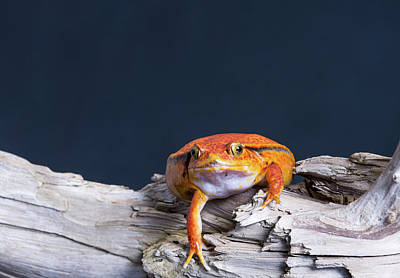 Frog Photograph - Close-up Of A Tomato Frog On Tree Stump by Panoramic Images