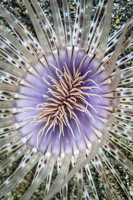 Abstract Graphics - Close-up Of A Tube Anemone by Ethan Daniels