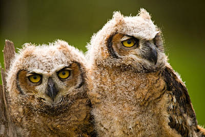 Owlets Photograph - Close-up Of A Two Great Horned Owlets by Panoramic Images