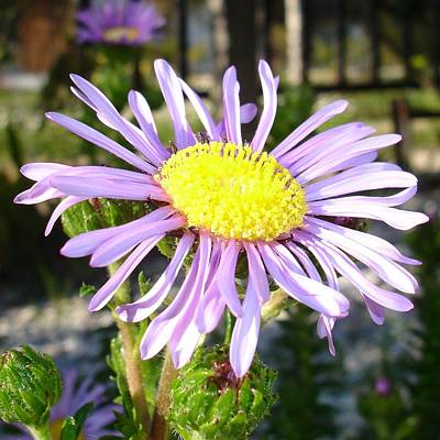 Photograph - Close Up Of A Violet Aster Flower Spring Bloom  by Taiche Acrylic Art