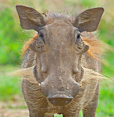Herbivorous Photograph - Close-up Of A Warthog, Lake Manyara by Panoramic Images