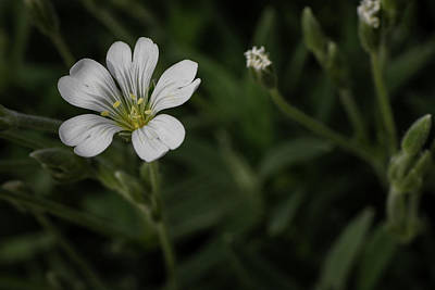 Close Up Of A White Wildflower Art Print