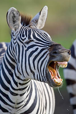 Close-up Of A Zebra Calling, Ngorongoro Art Print