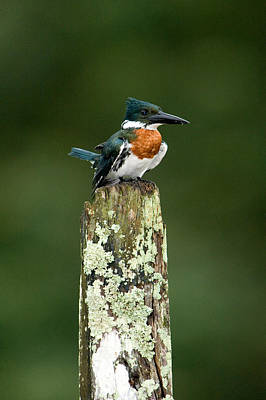 Amazona Photograph - Close-up Of Amazon Kingfisher by Panoramic Images