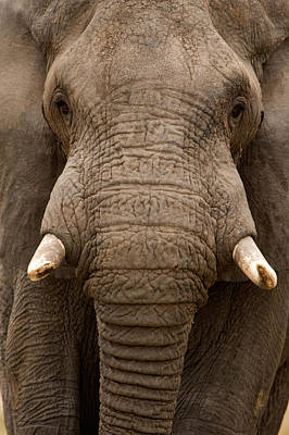 Close-up Of An African Elephant Art Print by Panoramic Images