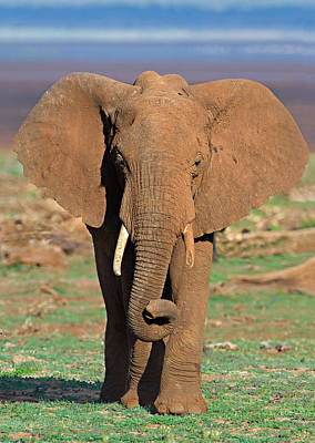 Focus On Foreground Photograph - Close-up Of An African Elephant Walking by Panoramic Images