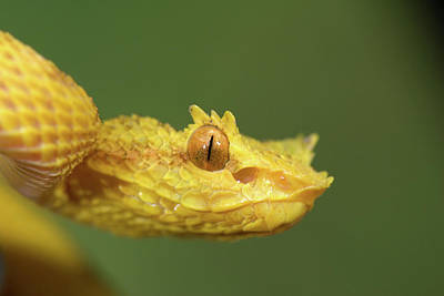 Arenal Photograph - Close-up Of An Eyelash Viper by Animal Images