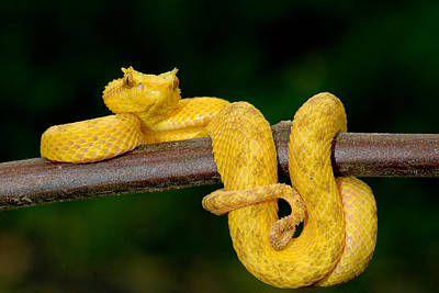 Brown Snake Photograph - Close-up Of An Eyelash Viper by Panoramic Images