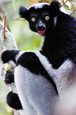 Close-up Of An Indri Lemur Indri Indri Art Print