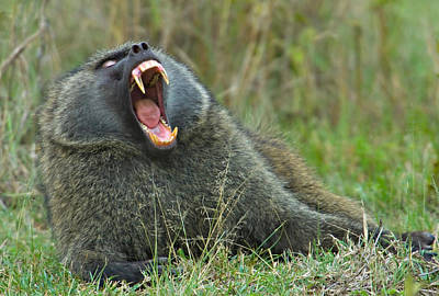 Close-up Of An Olive Baboon Yawning Art Print