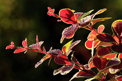 Moisture On Plants Photograph - Close Up Of Berberis  Quebec, Canada by Yves Marcoux