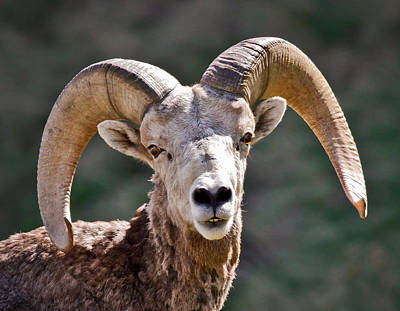 Photograph - Close Up Of Bighorn Sheep by Athena Mckinzie