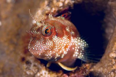 Close-up Of Blenny Fish (blenniidae Art Print