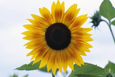 Close-up Of Blooming Sunflower Art Print by Dan Sherwood