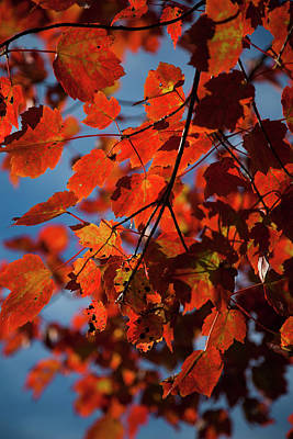Photograph - Close Up Of Bright Red Leaves With Blue by Jenna Szerlag