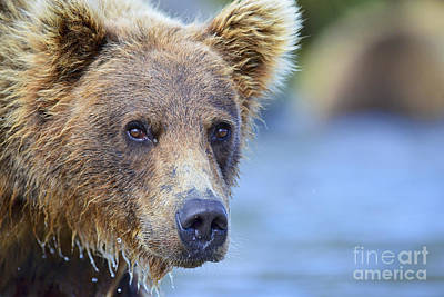 Photograph - Close Up Of Brown Bear  by Dan Friend