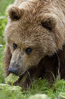 Grizzly Photograph - Close Up Of Brown Bear Eating Grasses by Cathy Hart