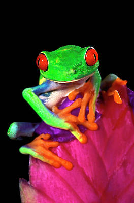 Frog Photograph - Close-up Of Captive Red-eyed Tree Frog by Jaynes Gallery